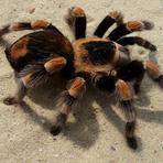 Animais - Homem tenta matar aranha com lança-chamas e põe fogo na casa