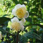 Chá branco, conheça seus benefícios emagrecedores