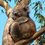 Curiosidades - Coalas abraçam árvores. Legal, mas por que eles fazem isso?