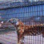 Vídeos - Garoto brincou com tigre e perdeu o braço