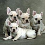 Animais - Filhotes de Buldog Frances
