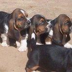 Animais - Filhotes de Basset Hound