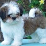 Animais - Filhotes de Lhasa Apso