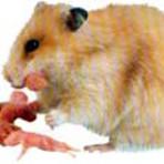 Animais - Filhotes de Hamster Sírio