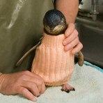 Meio ambiente - ONG usa suéteres para proteger pinguins de vazamentos de óleo