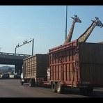 Girafa morre após bater a cabeça em ponte de estrada
