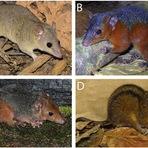 Ciência - Brasil ganha mais quatro novas espécies de mamíferos