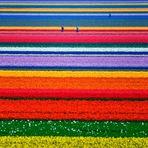 Campos de tulipa, Holanda