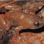 Meio ambiente - Biólogos descobrem nova espécie de sapo minúsculo na Mata Atlântica