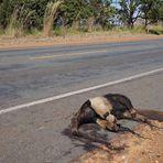 Animais - Rodovias: 450 milhões de animais silvestres mortos por ano