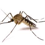 Utilidade Pública - Mosquito geneticamente modificado pode contribuir para o combate da dengue em todo Brasil
