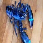 Animais - Rara lagosta azul é pescada nos Estados Unidos