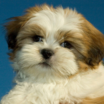 Animais - Cachorros para apartamento