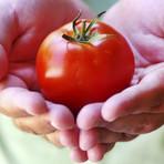 Estudo recomenda tomate para prevenir câncer de próstata