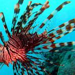 Peixe-leão vermelho, o exterminador dos oceanos