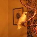 Animais - Cacatua maluca dança como uma roqueira
