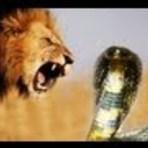 Vídeos - Leão vs Cobra – Quem Ganha?