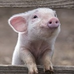 Animais - Top 7 motivos para ser vegetariano