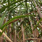 Meio ambiente - Cana-de-açúcar pode compensar falta de água dos reservatórios para geração de energia