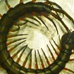 Centopeia de 10 cm provoca medo em voo na Nova Zelândia