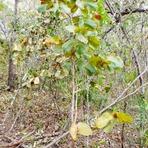 Meio ambiente - Produzindo mudas de Jatobá do Cerrado em casa