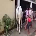 O que pode acontecer de errado ao fazer um carinho em uma vaca braba?