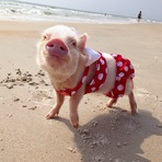 Animais - Priscilla, a porquinha mais bela do Instagram