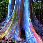 Belezas Naturais - Conheça o eucalipto-arco-íris