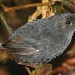 Nova espécie de pássaro descoberta no Brasil já corre risco de extinção