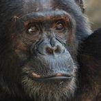 Chimpanzé é violento por natureza, diz estudo