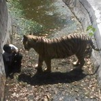 Tigre ataca e mata estudante que pulou dentro da jaula do animal