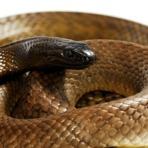 As cobras mais venenosas do mundo