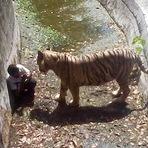 Tigre mata jovem em zoo da Índia (VÍDEO)