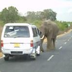 Legal - Elefante faz pedágio e só libera passagem se ganhar comida [vídeo]