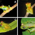 Curiosidades - Nova espécie de sapo é descoberta em Madagascar