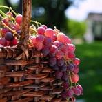 Saúde - Uvas: Ideal para nos proteger da radiação solar no verão
