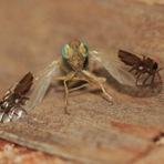 """A estranha mosca que """"desenhou"""" aranhas nas próprias asas"""