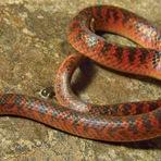 Meio ambiente - Nova espécie de serpente é descoberta em Minas Gerais