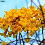 Ipê Amarelo em Nova Olinda
