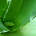 Beneficios de aloe vera ( babosa ) para a saúde