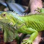 Fotos de Iguana