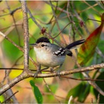 Meio ambiente - Previsão do desaparecimento de uma espécie de ave no Estado do Tocantins: o que fazer?
