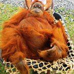Veterinários fazem força-tarefa para examinar orangotango no zoo do Beto Carrero