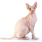 Curiosidade: Gatos de raças exóticas