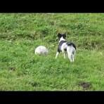Animais - Cachorro Jogando futebol