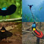Meio ambiente - Aves-do-paraíso: paraíso encontrado