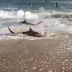 Em frenesi, dezenas de tubarões nadam até praia em busca de comida
