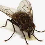 Genoma da mosca dá pistas para cura de doenças