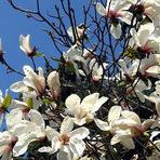 Buquê flores brancas : A milenar historia da Magnólia