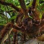 Maior aranha do mundo mede 30 centímetros e pode ter o peso de um filhote de cão
